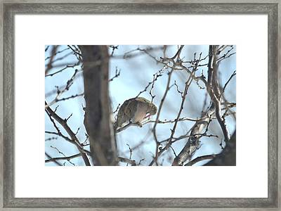 Framed Print featuring the photograph Mourning Dove by Dacia Doroff