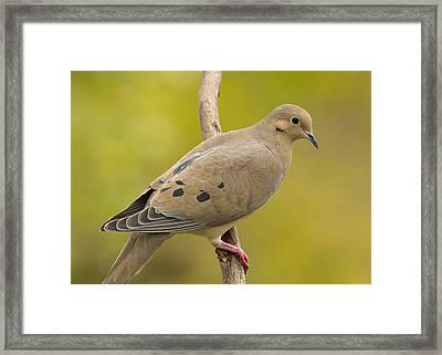 Mourning Dove Framed Print by Doug Herr