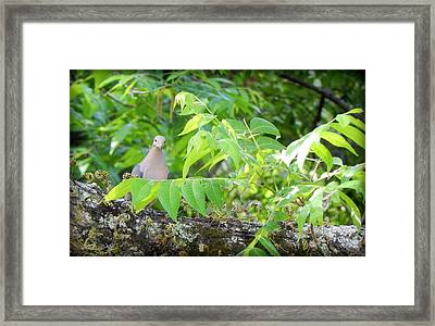 Mourning Dove Framed Print by Lynn Griffin