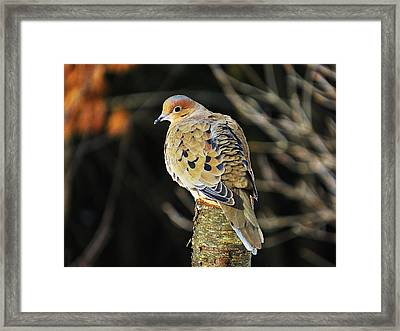 Mourning Dove On Post Framed Print