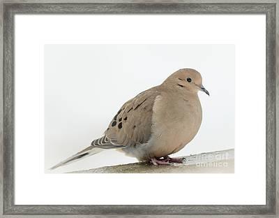 Mourning Dove2 Framed Print