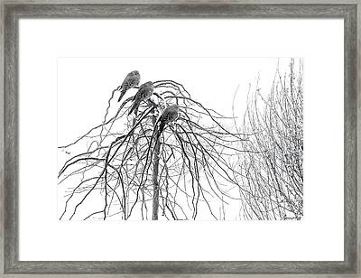 Mourning Doves Perch On The Branches Framed Print by Al Petteway and Amy White