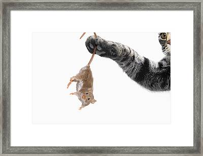 Mouse Dangling From Grey Tabby Cats Framed Print by Thomas Kitchin & Victoria Hurst