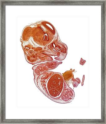 Mouse Embryo Framed Print by Dr Keith Wheeler