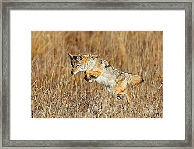 Mousing Coyote Framed Print