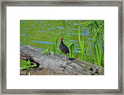 Mouthy Moorhen Framed Print by Al Powell Photography USA