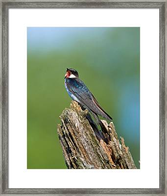 Mouthy Tree Swallow Framed Print