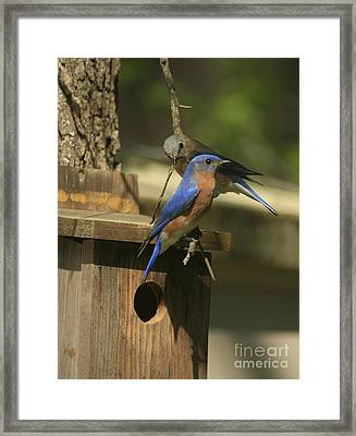 Mr. And Mrs. Bluebird Framed Print