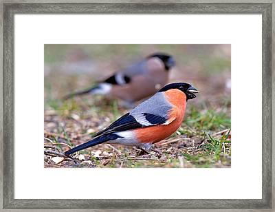 Mr And Mrs Bullfinch Framed Print by Torbjorn Swenelius
