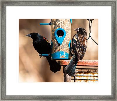 Mr. And Mrs. Red Winged Blackbird Framed Print by Robert L Jackson