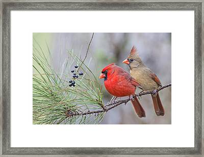 Mr. And Mrs. Redbird In Pine Tree Framed Print