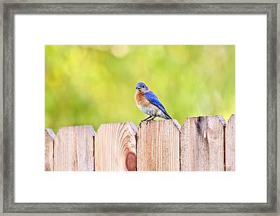 Mr. Bluebird Framed Print by Scott Pellegrin
