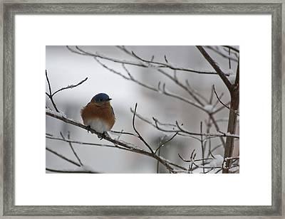 Mr Bluebird Framed Print by Teresa Mucha