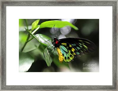 Framed Print featuring the photograph Mr. Cairns Birdwing by Mary Lou Chmura