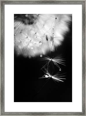 Mr. Dandelion. Light Flight 1. Black And White Framed Print