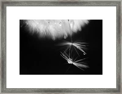 Mr. Dandelion. Light Flight. Black And White Framed Print