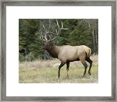 Mr Majestic Framed Print