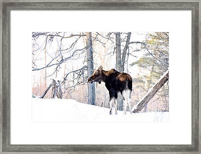 Mr. Moose Framed Print