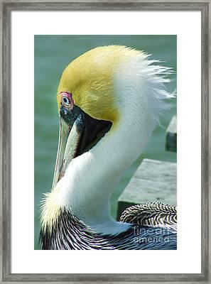 Mr Pelican Framed Print by Stuart Mcdaniel