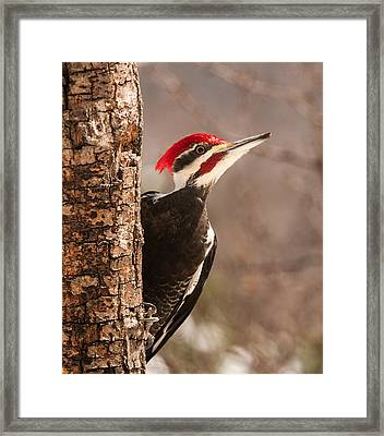 Mr. Pileated Framed Print