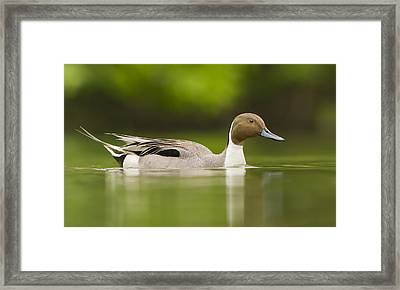Mr Pintail  Framed Print by Mircea Costina Photography