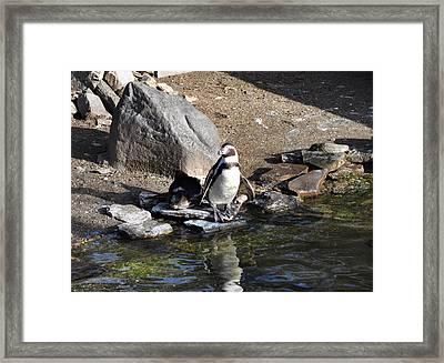 Mr Popper's Penguins Framed Print by Bill Cannon