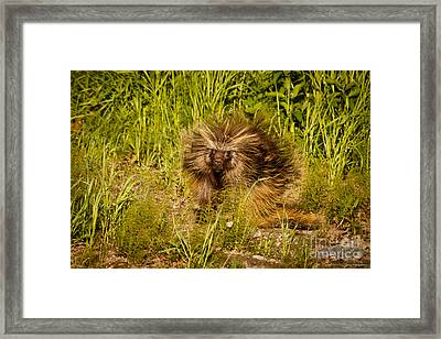 Mr. Porcupine Framed Print by Chris Heitstuman