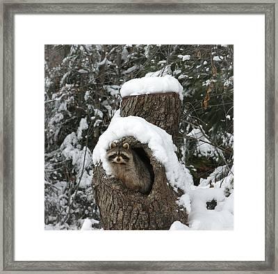 Mr. Raccoon Framed Print