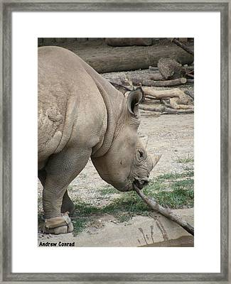 Mr. Rhino Is Hungry.  Framed Print by Andrew Conrad