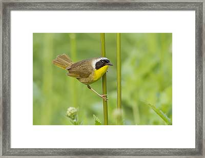 Mr Yellowthroat Framed Print by Mircea Costina Photography