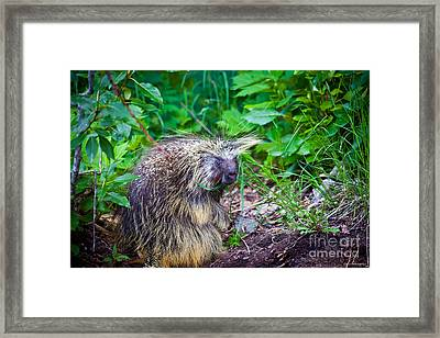 Mrs. Porcupine  Framed Print by Chris Heitstuman