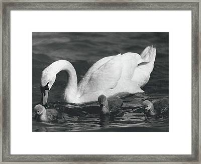 Mrs, Swan And Her Kids Enjoy Spring - Sun Framed Print by Retro Images Archive