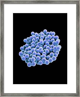 Mrsa Bacteria Framed Print by Cdc/ Melissa Brower