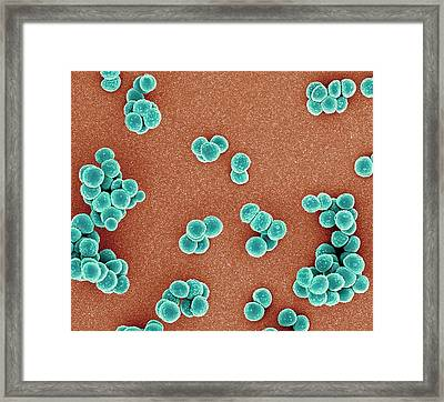 Mrsa Bacteria Framed Print by Science Photo Library