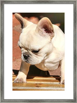 French Bulldog Ms Quiggly  Framed Print