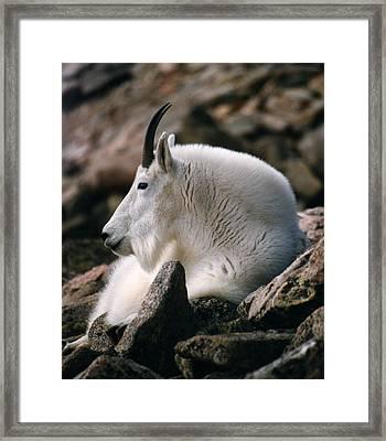 Mt Evans Mountian Goat Framed Print by Robert Lozen