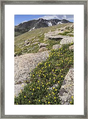 Mt. Evans Wildflowers Framed Print by Aaron Spong