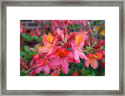 Mt St Helens Azalea Framed Print