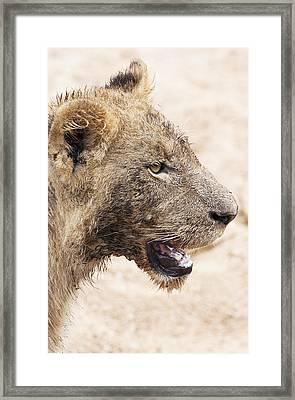 Muddy Little Lion Cub Framed Print by Sean McSweeney