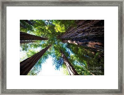 Muir Woods Redwood Trees 6 Framed Print by Mel Ashar