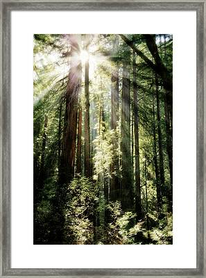 Muir Woods Forest - Red Wood Trees Framed Print