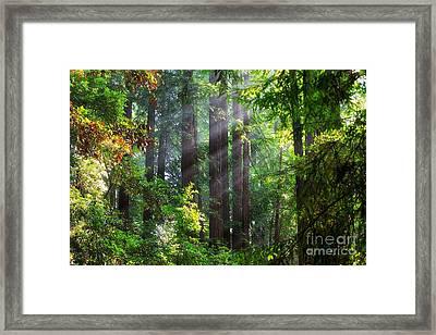 Muir Woods Redwood Trees 4 Framed Print