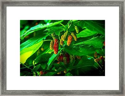Mulberries - Fruit - Berries Framed Print by Barry Jones