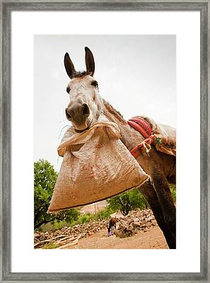 Mule Framed Print by Ashley Cooper