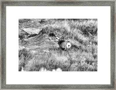 Framed Print featuring the photograph Mule Buck B/w by Kevin Bone