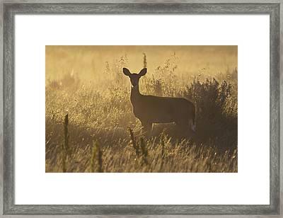 Mule Deer Backlit At Sunrise Framed Print