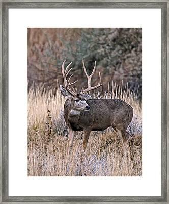 Mule Deer Buck Framed Print