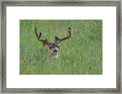 Mule Deer Buck In Wildflower Meadow Framed Print