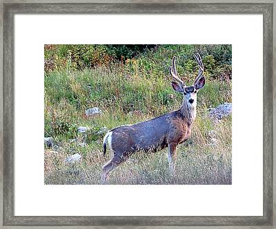 Mule Deer Buck Framed Print