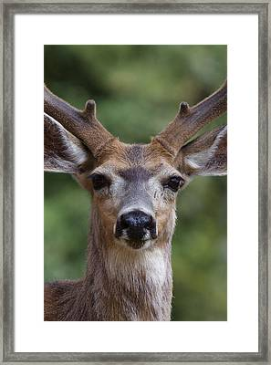 Mule Deer Buck Toats Coulee Framed Print by Tom Reichner
